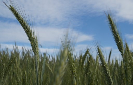Spadek produkcji zbóż przy jednoczesnej rekordowej konsumpcji w sezonie 2017/2018