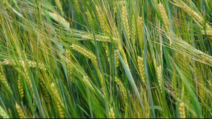 Ceny zbóż na giełdach towarowych (11.04.2021)