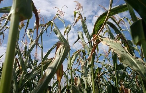 Kukurydza odbiła o 20 zł/t w górę. Ponownie tanieje pszenica