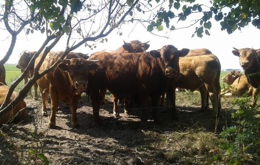 Ceny bydła na targowiskach (20.10.2017)