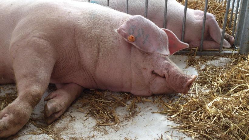 Ceny skupu świń rzeźnych (27.08.2017)