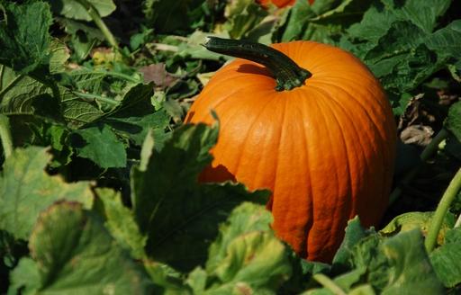 Rekordowo tanie warzywa w Broniszach. Gigantycze dynie