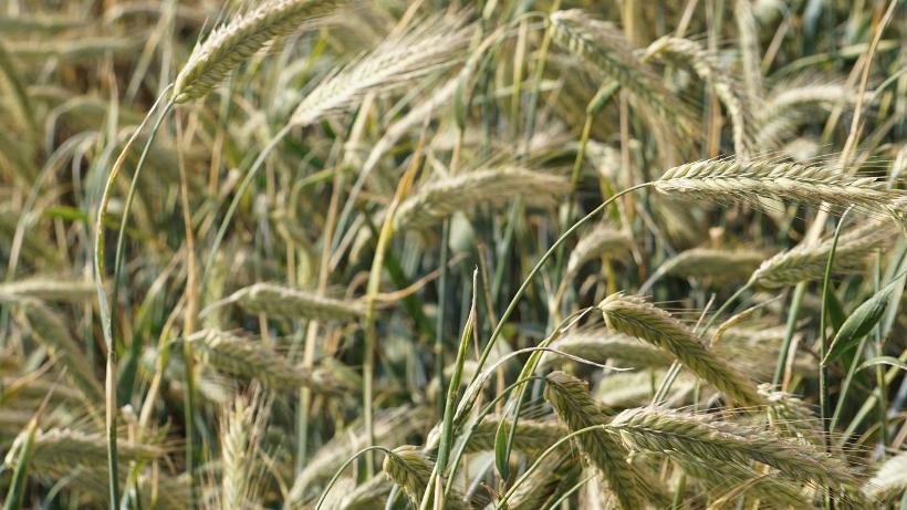 Rynek zbóż w kraju i na świecie (6.11.2016)
