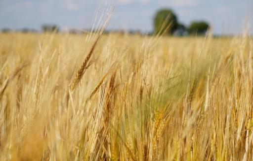 Ceny zbóż (06.09.2020)