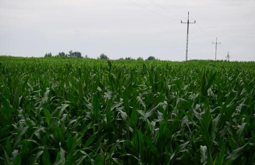 A. Bąk: Notowania amerykańskich zbóż i soi poruszają się po równi pochyłej
