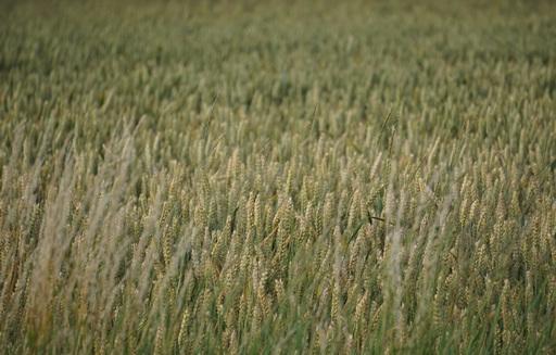 Notowania zbóż i oleistych. Korekta wzrostowa na amerykańskim rynku zbóż i soi (3.08.2016)