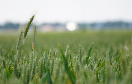 Prognozy cen pszenicy i żyta do marca 2018 r.