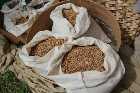 Notowania zbóż i oleistych. W Chicago zboża pogłębiły wieloletnie minima (30.08.2016)