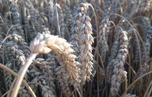Notowania giełdowe zbóż i oleistych spadły w czwartek po obu stronach Atlantyku