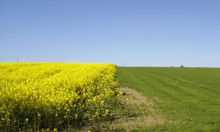 Notowania zbóż i oleistych. Na giełdowym rynku przeważały wzrosty (3.03.2017)