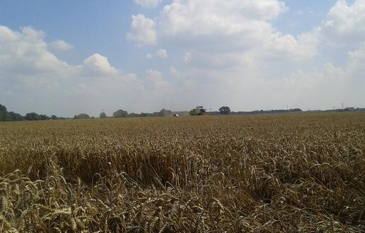 Ceny pszenicy konsumpcyjnej dalej stopniowo rosną
