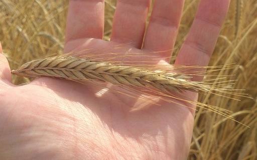 Od połowy sierpnia ceny większości zbóż rosną, choć dalej są mniejsze niż rok temu
