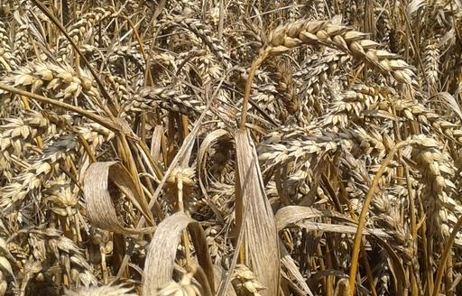 Notowania zbóż i oleistych. Po sporych wzrostach nastąpiła przecena kontraktów na zboża i oleiste (17.02.2017)