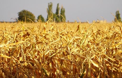 Minimalny wzrost cen kukurydzy