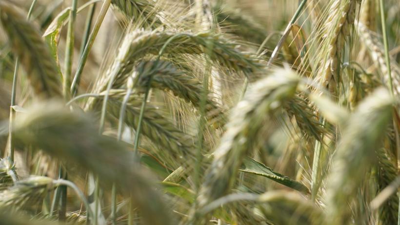 Ceny zbóż na giełdach towarowych (28.08.2016)