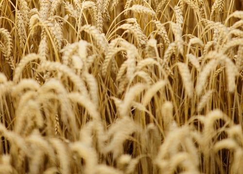 Ceny pszenicy blisko 700 zł/t