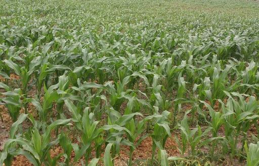 Ceny zbóż na giełdach towarowych (24.07.2016)