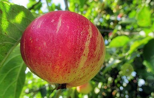Ceny jabłek w Polsce (05.07.2016)