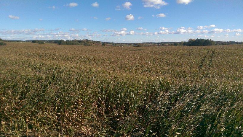 Kukurydza i soja w górę